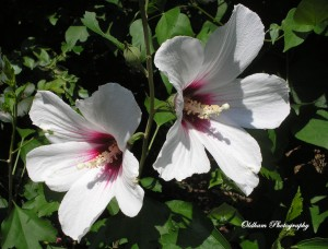 Rose of Sharon Lil' Kim