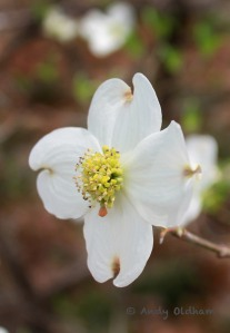 Dogwood_4897_edited-2