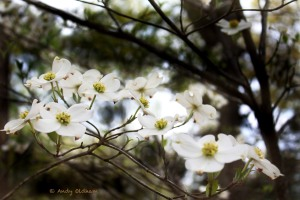 Dogwood_4905_edited-1